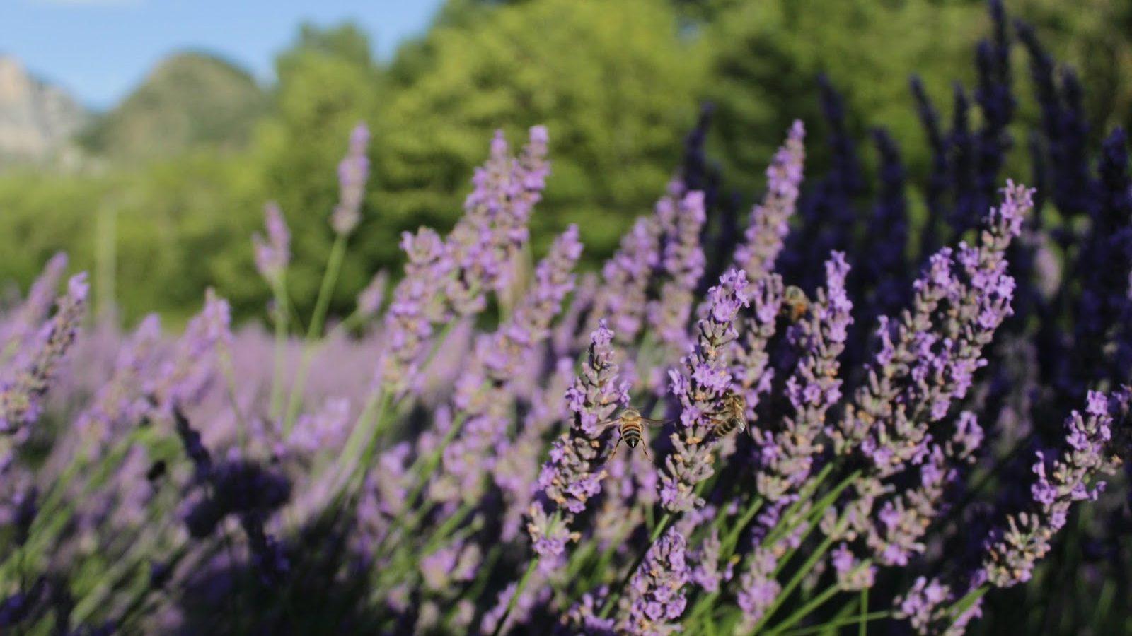 Lavendel & welzijn