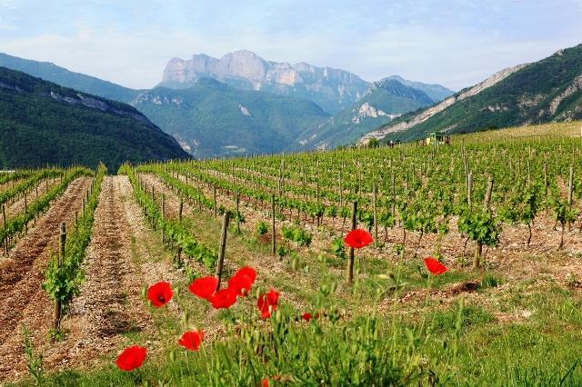 Vignes et coquelicot – Vercheny le haut